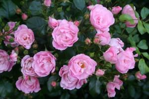 Noamel Rose