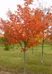 Acer rubrum 'Northwood'