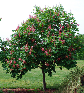 Aesculus x carnea 'Fort McNair'