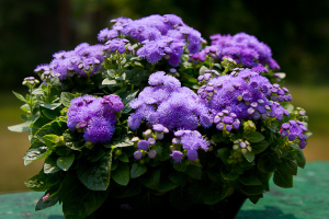 Ageratum 'Hawaii Blue