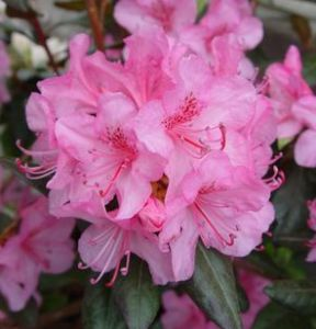 Aglo Rhododendron