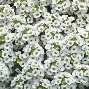 Alyssum 'White