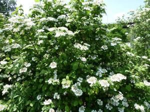 American Cranberry Bush1