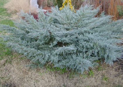 Juniper Gammon S Garden Center Amp Landscape Nursery