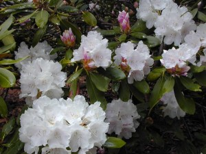 Anna Hall Rhododendron