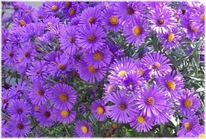 Aster (Annual)