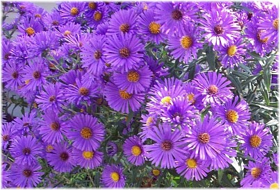 Asters Flowers Annual Aster Annual