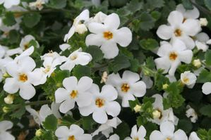 Bacopa 'Gulliver Silver