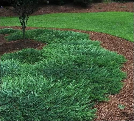 Juniper Gammon S Garden Center Amp Landscape Nursery