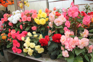 Begonia 'Assorted varieties