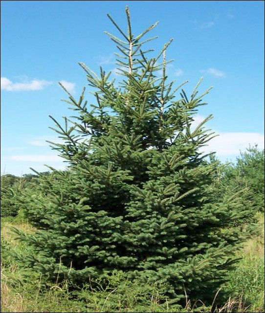 Small blue spruce???