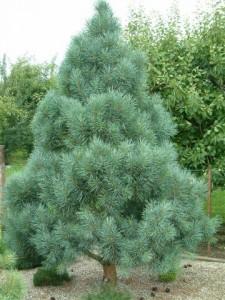 Bonna Scotch Pine