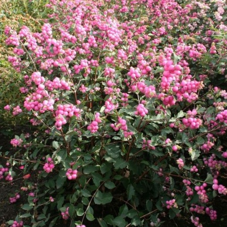 Snowberry   Gammon\'s Garden Center & Landscape Nursery