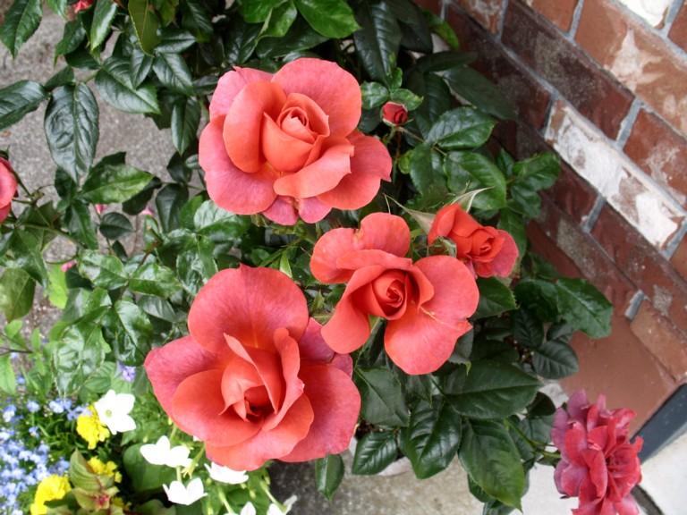 Shrub Roses Carefreecelebrationrose