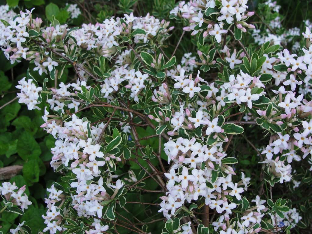 Daphne : Gammonu0026#39;s Garden Center u0026 Landscape Nursery