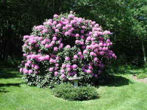Catawbiense Boursault Rhododendron
