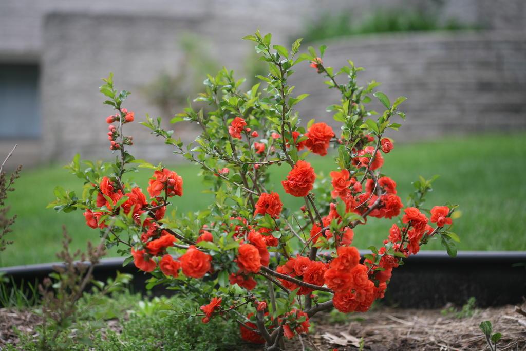 Quince Gammon S Garden Center Amp Landscape Nursery