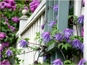 Clematis 'Blue Bird'