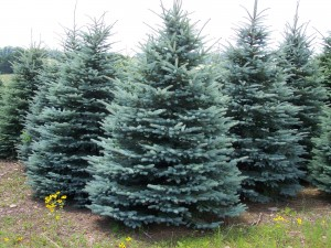 ColoradoBlueSpruce
