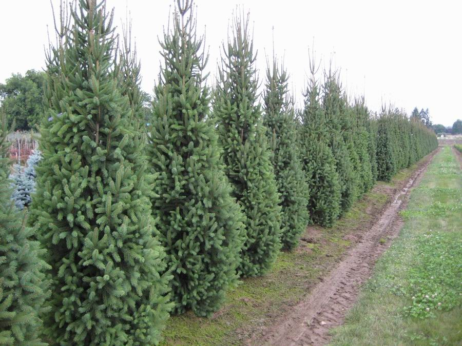 Spruce – Gammon's Garden Center & Landscape Nursery Spruce – Gammon's Garden Center & Landscape Nursery Blue Things 5' colorado blue spruce