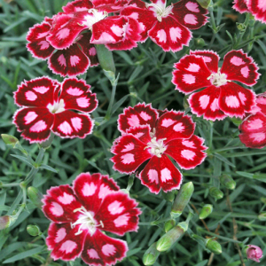 Dianthus 'Spangled Star