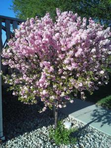 Double Flowering Plum