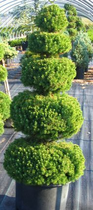 Poodle dwarf alberta spruce