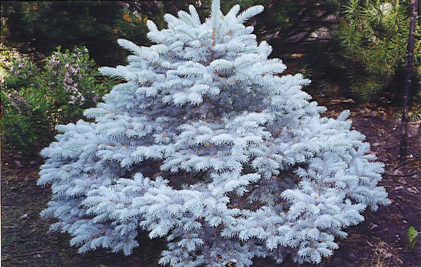 Spruce – Gammon's Garden Center & Landscape Nursery
