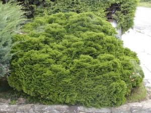 Dwarf Hinoki Cypress 'Nana
