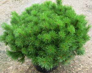 ENCI Mugo Pine