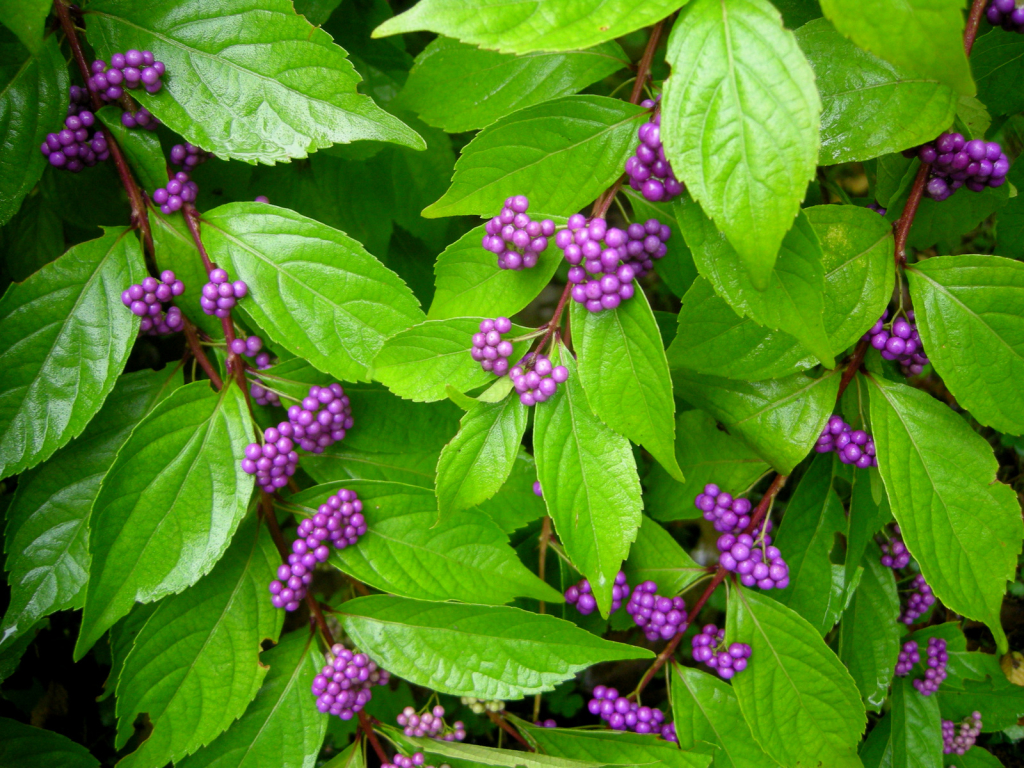 Beautyberry Gammon S Garden Center Amp Landscape Nursery