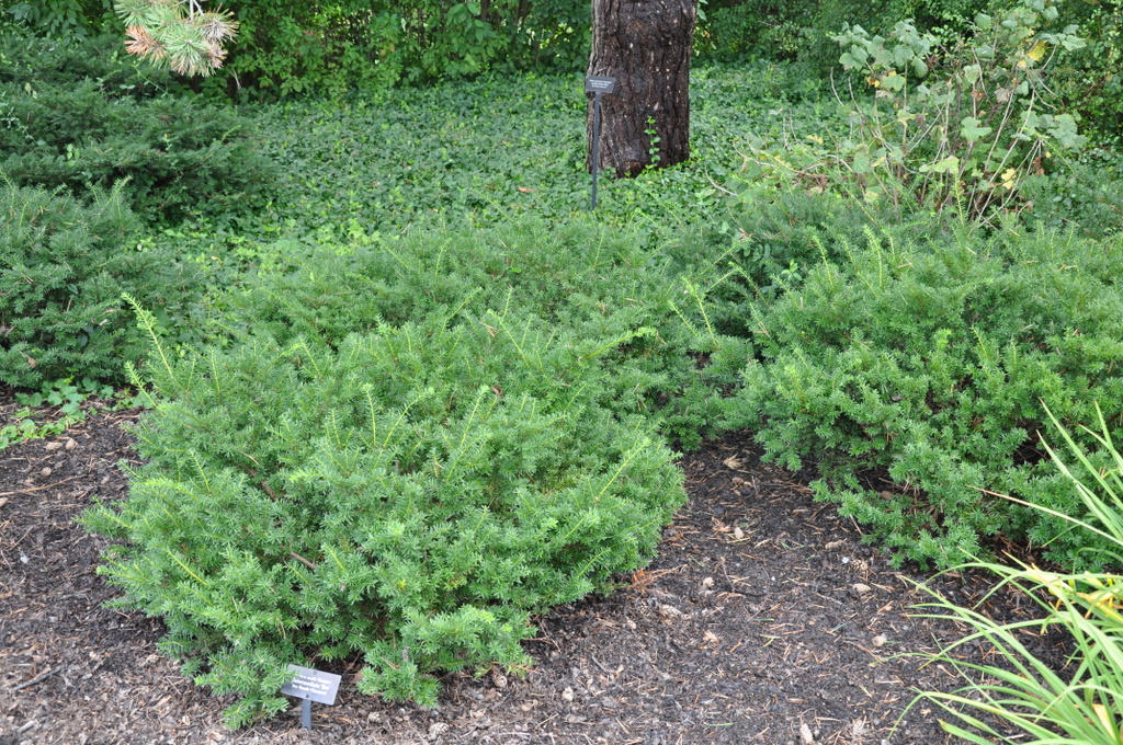 Yew Gammons Garden Center Landscape Nursery