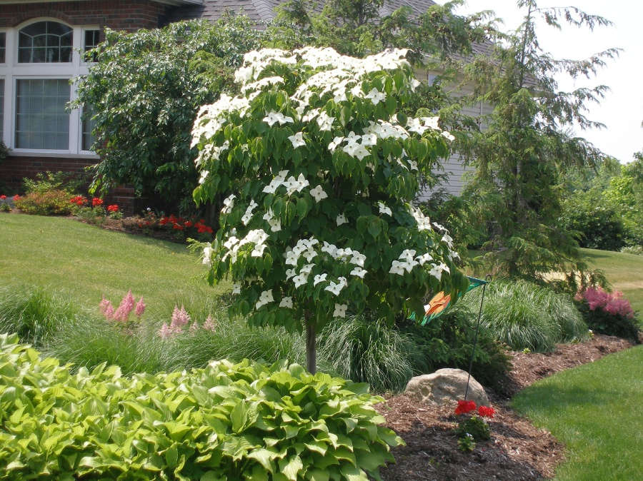 Dogwood | Gammon's Garden Center & Landscape Nursery on vegetable garden layout zone 4, garden design canada, garden design roses, garden plan zone 4, garden design home, garden design atlanta, garden design uk, garden design wall, butterfly garden zone 4, herb garden zone 4, fall garden zone 4, shade garden zone 4,