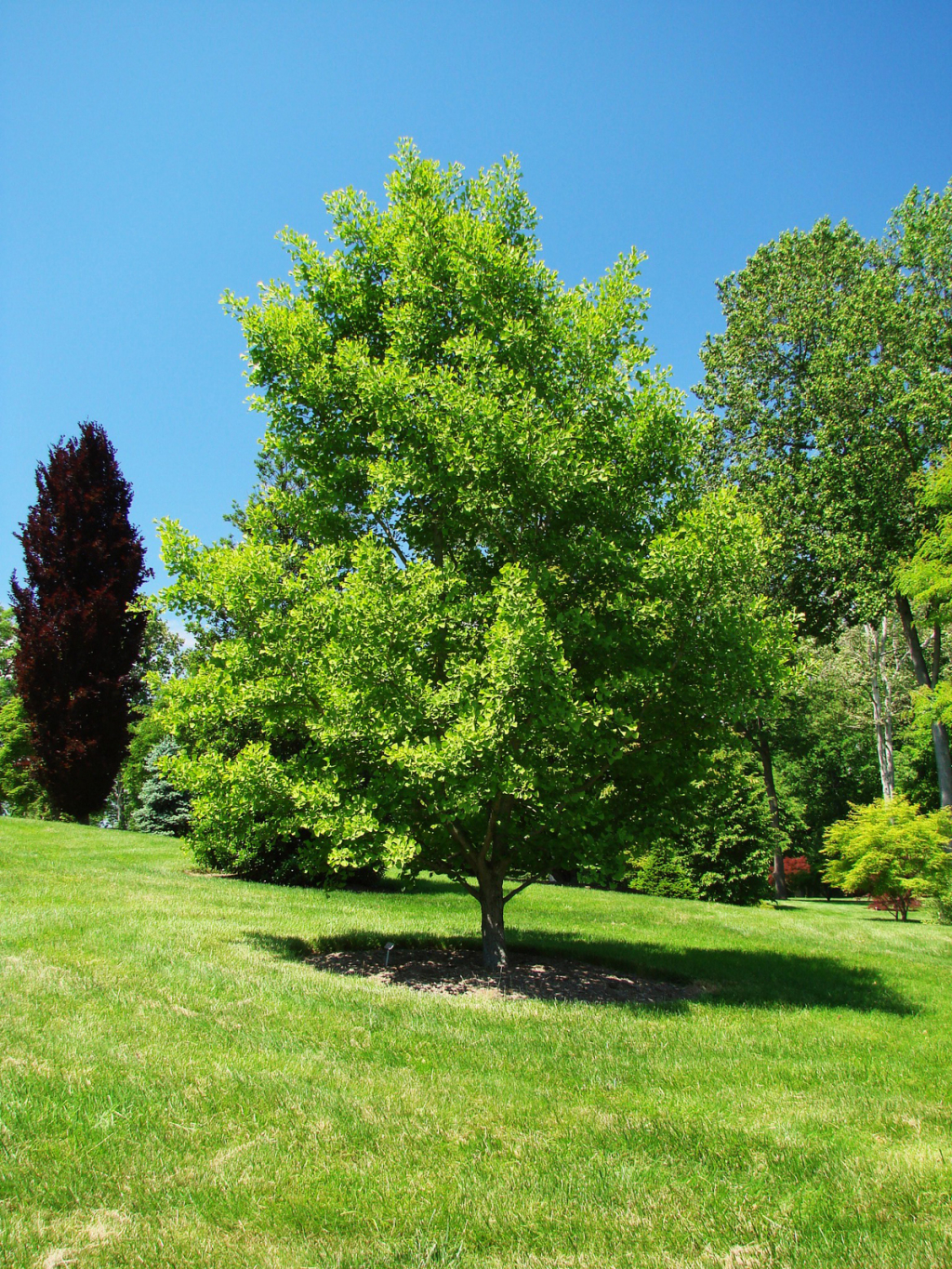 Ginkgo Gammon S Garden Center Amp Landscape Nursery