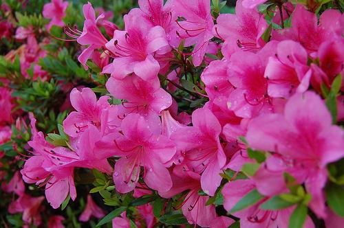 Azalea gammons garden center landscape nursery girards fushia azalea mightylinksfo
