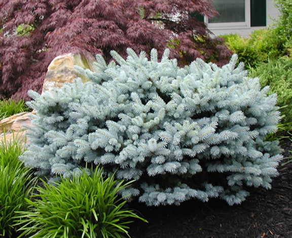 Spruce gammon 39 s garden center landscape nursery for Short evergreen trees