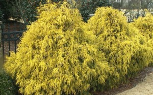 Gold Mop Cypress