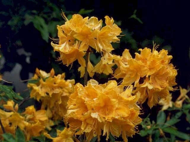Golden Lights Azalea Nice Ideas