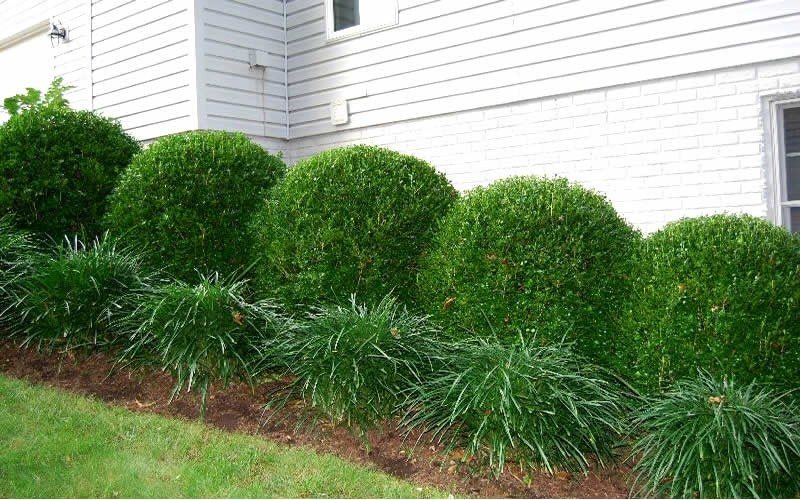 Boxwood gammon 39 s garden center landscape nursery for How to plant bushes in front of house