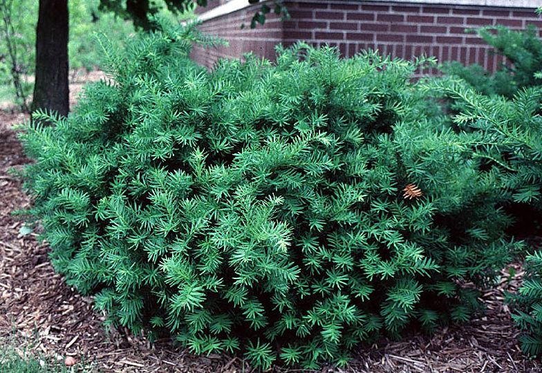 taxus emerald spreader