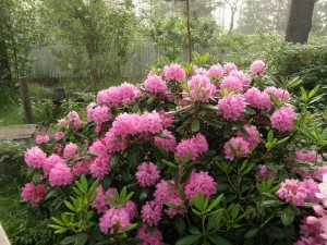 Haag Rhododendron