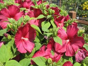 Hibiscus 'Luna Rose'