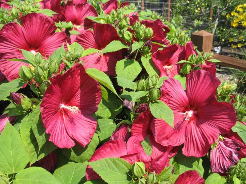 Rose Of Sharon Gammons Garden Center Landscape Nursery