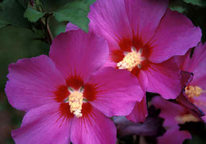 Hibiscus 'Floru'