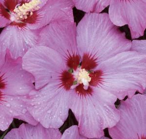 Hibiscus 'Minrosa'