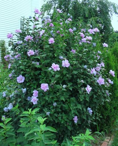 rose of sharon gammon 39 s garden center landscape nursery. Black Bedroom Furniture Sets. Home Design Ideas