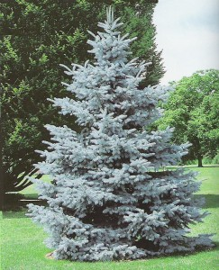 Hoopsii Blue Spruce