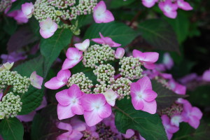 Hydrangea 'Twist and Shout'