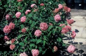 Hydrangea 'Bella Anna'