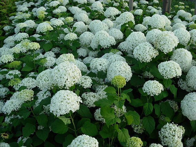 Hydrangea gammons garden center landscape nursery hydrangea white dome mightylinksfo